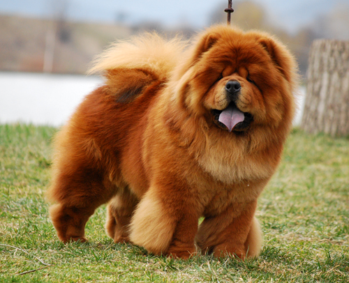 Majestic Sandial - Chow Chow Kennel